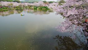 Timelapse of Wuhan East Lake Cherry blossom garden. Wuhan East-lake Cherry blossom garden holds sakura festival every year, these are some 4K timelapse video stock video