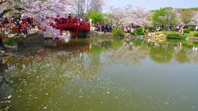 Timelapse of Wuhan East Lake Cherry blossom garden. Wuhan East-lake Cherry blossom garden holds sakura festival every year, these are some 4K timelapse video stock footage