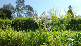 Timelapse - zoom in to a borage in flowers - a bee lands to gather. stock video