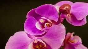 Timelapsevideo van orchideebloem het tot bloei komen stock footage