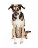 Timid German Shepherd Cross Sitting. A shy German Shepherd Mixed Breed Dog sitting with body and head facing forward Royalty Free Stock Images