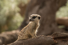 Timid meerkat Royalty Free Stock Photography