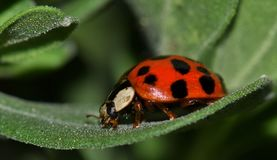 Asian lady beetle resting on a leaf. stock photography