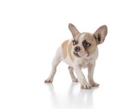 Timid Puppy Dog Looking to the Side Royalty Free Stock Photo