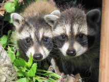 Timid raccoon cub siblings Stock Photos