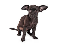 Timid Small Black Chihuahua Crossbreed Dog. Shy little black color Chihuahua crossbreed two month old puppy dog sitting on a white background royalty free stock photos