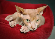 Timid sphynx cat Royalty Free Stock Images