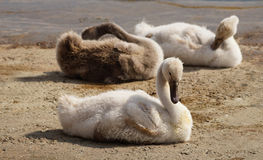 Timid swans. Stock Images