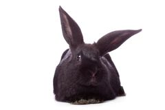 Timid young black rabbit Royalty Free Stock Image
