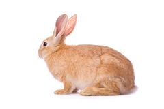 Timid young red rabbit Royalty Free Stock Images