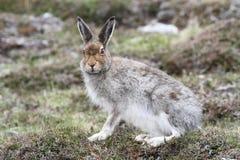 Timidus de Lepus de lièvres de montagne dans les montagnes de l'Ecosse dans son manteau de brun d'été Photographie stock libre de droits