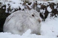 Timidus del Lepus della lepre della montagna in sue camice di inverno in una bufera di neve della neve alta nelle montagne scozze Fotografie Stock