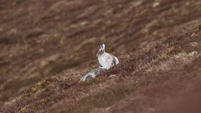 Timidus van Lepus van berghazen in de lente moult zitting en het staren dicht UPS in de rookkwartsen NP, Schotland in april stock videobeelden