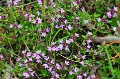 Timjan eller timjan blomstrar laten thymuskörtel Royaltyfria Foton
