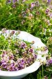 Timjan på plattan i sommar Arkivfoton