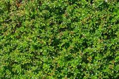 Timjanväxten växer i trädgården Royaltyfria Foton
