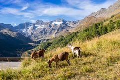 Timmelsjoch High Alpine Road landscape and goats. Mountains and peaks covered with glaciers and snow, natural environment. Hiking in the Passo del Rombo. Ö stock images
