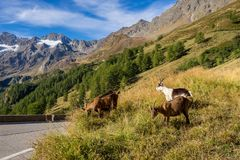 Timmelsjoch High Alpine Road landscape and goats. Mountains and peaks covered with glaciers and snow, natural environment. Hiking in the Passo del Rombo. Ö stock photos