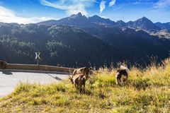 Timmelsjoch High Alpine Road landscape and goats. Mountains and peaks covered with glaciers and snow, natural environment. Hiking in the Passo del Rombo. Ö royalty free stock photos