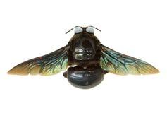 Timmerman Bee Royalty-vrije Stock Afbeeldingen