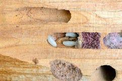 timmerman larven in de boomstam van de boom het ongedierte van de keverstuin Stock Foto's