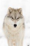 Timmerwolf i vinter Arkivbild