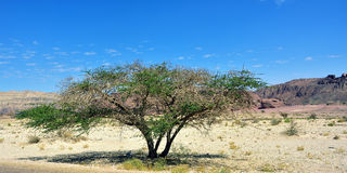 Timna park. Accacia tree in Unique park Timna, Israel Royalty Free Stock Photography