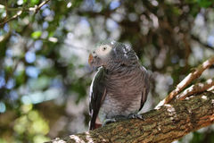 Timneh Grey Parrot Royalty Free Stock Photography