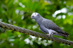 Timneh Grey Parrot (Psittacus timneh) Royalty Free Stock Photo