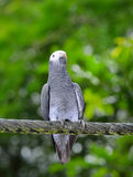 Timneh Grey Parrot (Psittacus timneh) Stock Image