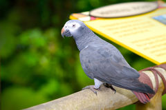 Timneh Grey Parrot (timneh do Psittacus) Imagem de Stock Royalty Free