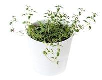 Timo comune vulgaris del timo, timo tedesco, timo del giardino e piantine di officinalis di Rosemary Rosmarinus in vaso bianco Ve fotografie stock