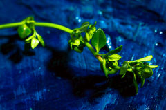 Timo del limone su una fine astratta blu del fondo su Immagini Stock Libere da Diritti
