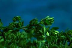 Timo del limone su una fine astratta blu del fondo su Fotografie Stock