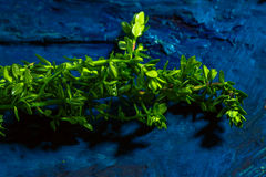 Timo del limone su una fine astratta blu del fondo su Immagini Stock