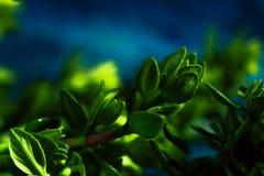 Timo del limone su una fine astratta blu del fondo su Immagine Stock