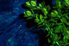 Timo del limone su una fine astratta blu del fondo su Immagine Stock Libera da Diritti