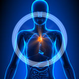 Timo - órganos femeninos - anatomía humana Fotos de archivo