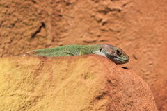 Timon pater lizard Stock Images