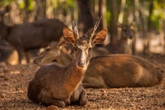 Timor Deer in the park at Tiger Temple, Thailand Stock Photos