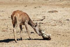 Timor Deer Stock Photo