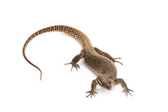 Timor Monitor lizard Royalty Free Stock Photos