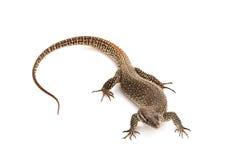 Timor Monitor lizard Royalty Free Stock Photos