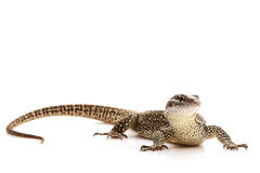 Timor Monitor lizard. (Varanus timorensis) isolated on white background royalty free stock photo