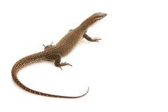 Timor Monitor lizard. (Varanus timorensis) isolated on white background stock image