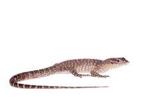 Timor Monitor Lizard, Varanus timorensis, on white Stock Photos
