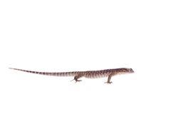 Timor Monitor Lizard, Varanus timorensis, on white Royalty Free Stock Photos