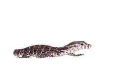 Timor Monitor Lizard, Varanus timorensis, on white Stock Photography