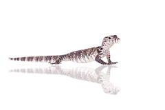 Timor Monitor Lizard, Varanus timorensis, on white Royalty Free Stock Photo