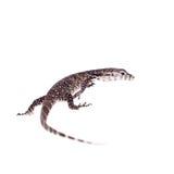 Timor Monitor Lizard, Varanus timorensis, on white Stock Photo